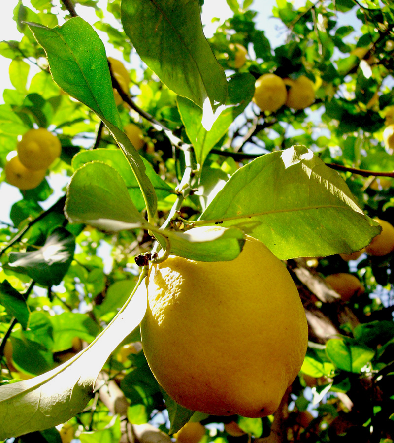 citron1.jpg