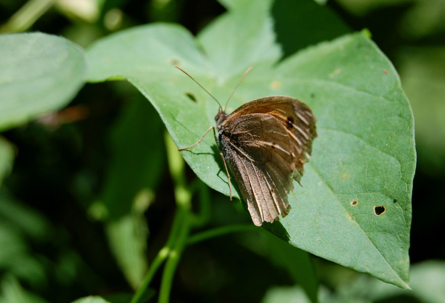 papillon21.jpg