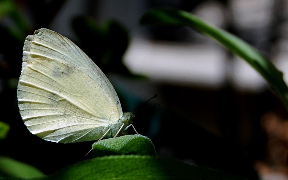 papillon3.jpg