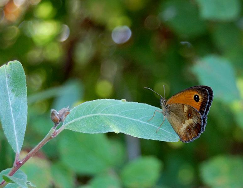 papillon33.jpg