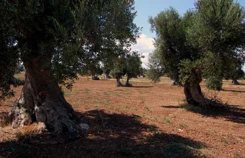 oliviers1.jpg