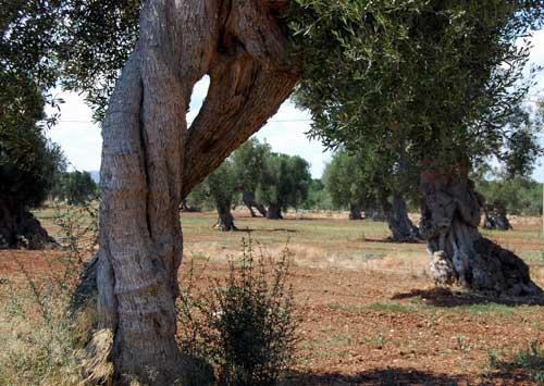 oliviers3.jpg
