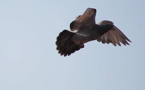 pigeon2.jpg
